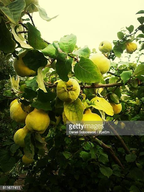 guava hanging on a tree - guava fruit stock photos and pictures
