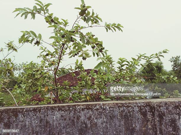 guava tree against clear sky - guava fruit stock photos and pictures