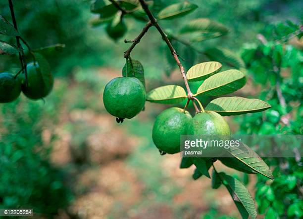guava tree - guava fruit stock photos and pictures