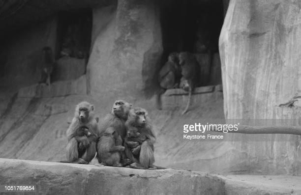 Guenons gelées au zoo de Vincennes France le 10 janvier 1967