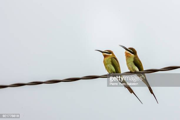 Guepiers de Madagascar (green bee-eaters)