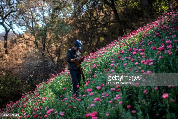 Guerrero Community Police member looks at his mobile phone as he stands guard at an illegal poppy field in Heliodoro Castillo Guerrero state Mexico...