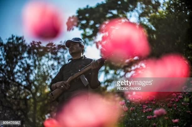 Guerrero Community Police member stands guard at an illegal poppy field, in Heliodoro Castillo, Guerrero state, Mexico, on March 25, 2018. In the...