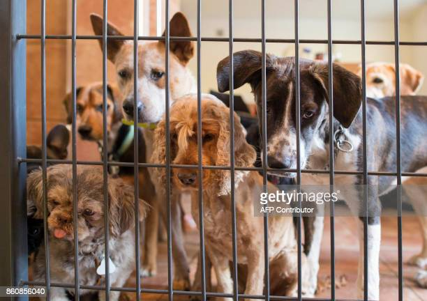 Guest dogs in Pino Puglisi's dog hotel Paradiso look on as a new guest dog arrives in Ludwigsburg, southwestern Germany, on a October 13, 2017. Dog...