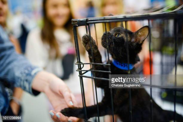 Guests look at a cat up for adoption at CatCon Worldwide 2018 at Pasadena Convention Center on August 4 2018 in Pasadena California