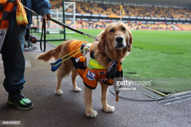 A guide dog is seen wearing Wolverhampton Wanderers merchandise prior to the Sky Bet Championship match between Wolverhampton Wanderers and...