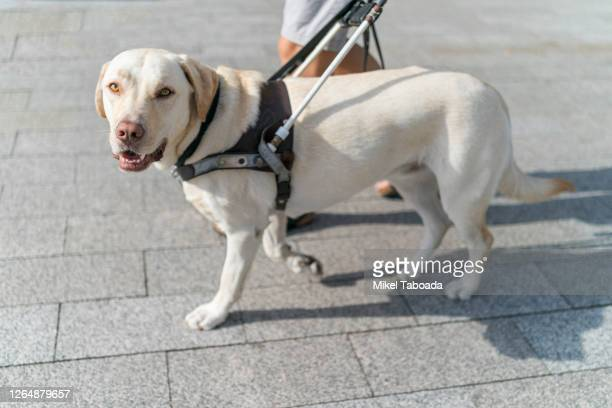 guide dog looking to camera - 盲導犬 ストックフォトと画像