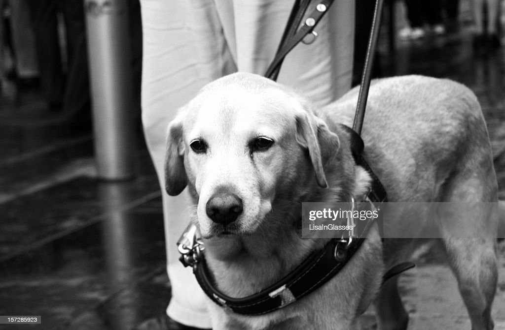 Guide Dog : Stock Photo