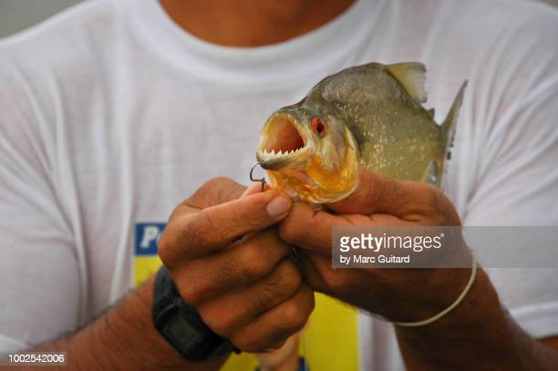 a guide holding a piranha, cuyabeno wildlife reserve, ecuador - piranha photos et images de collection