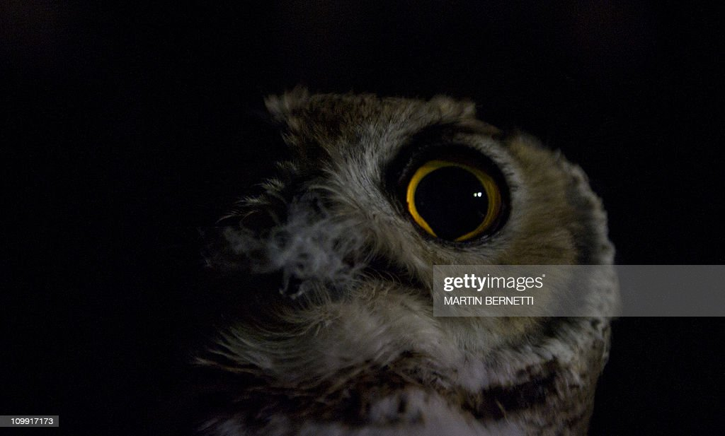 STORYA guide holds a night owl at the zoo Parque Metropolitano, in Santiago, for visitors to see it during a night visit on March 9, 2011. Santiago's zoo joined those of Singapore, Mexico, Colombia and San Diego in the US, and opened its doors for night visits.