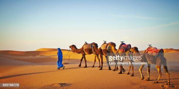 Guide leading camels on sand dune in desert landscape