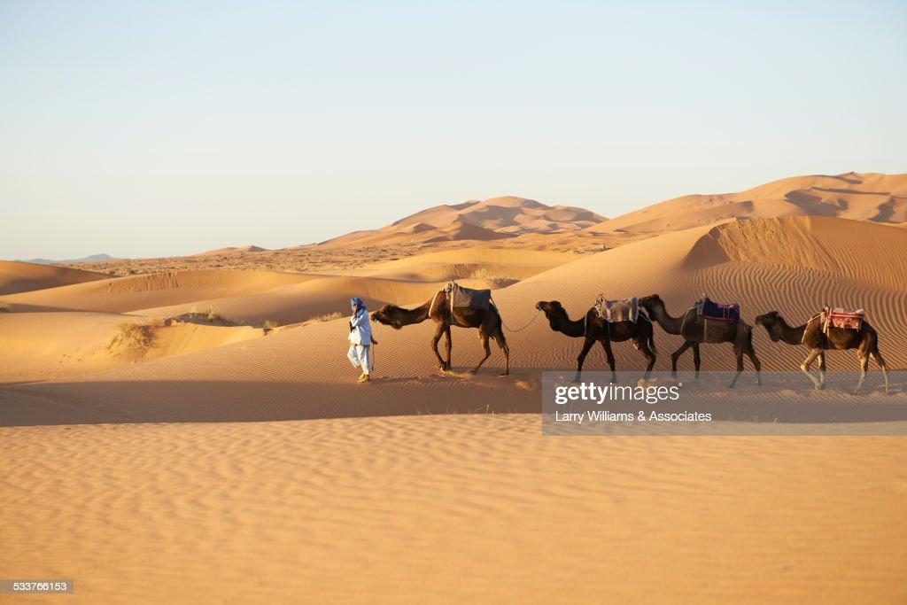 Guide leading camels on sand dunes in desert landscape : Foto stock