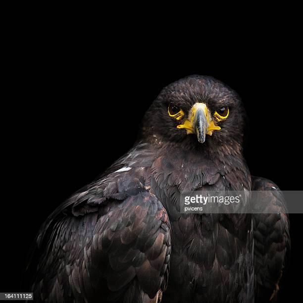 Águila de Harris