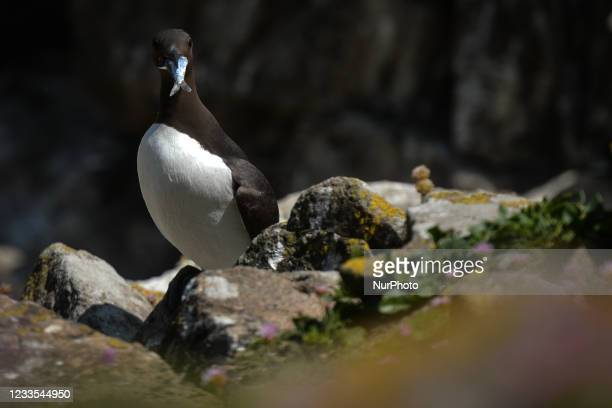 Guillemot holding a cached fish seen during the breeding season on the Great Saltee Island. The Saltee Islands are made up of two uninhabited little...