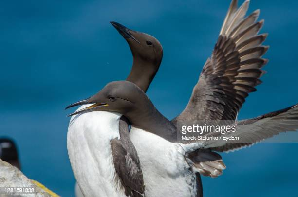 guillemots - uria aalge mating on skomer island - marek stefunko stock pictures, royalty-free photos & images