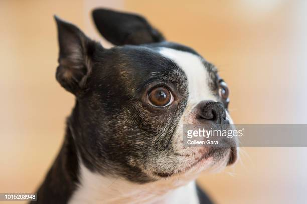 guilty boston terrier - caught in the act stock pictures, royalty-free photos & images