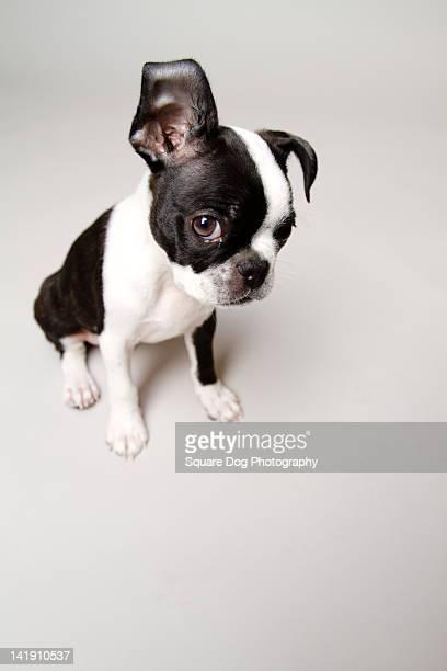 Guilty Boston Terrier