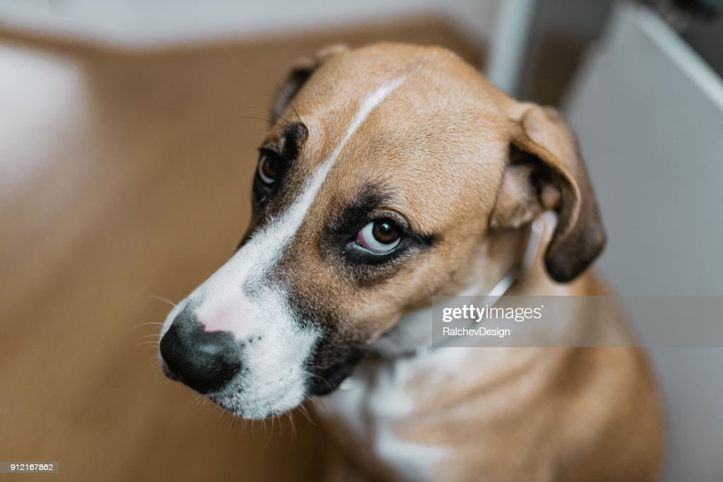 Guilty dog looking at you : Stock Photo