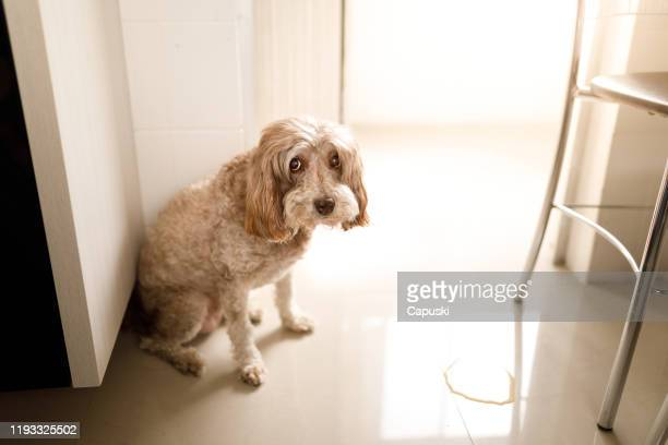 guilty dog peed in the wrong place - urine stock pictures, royalty-free photos & images