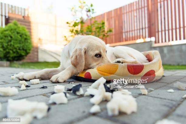 guilty dog - blame stock pictures, royalty-free photos & images