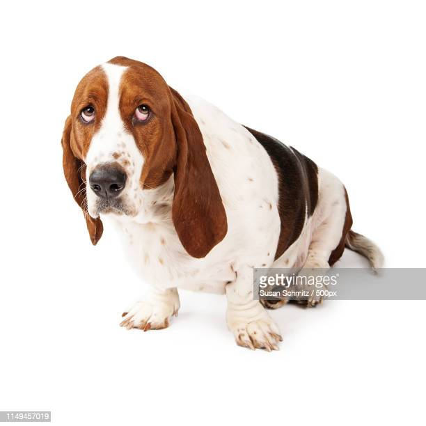 guilty looking basset hound - drooping stock photos and pictures
