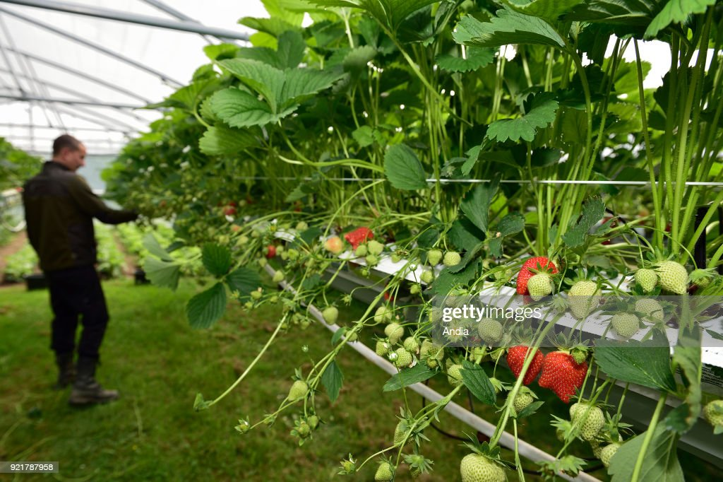 strawberries grown in soilless culture under a greenhouse. Strawberry picking.