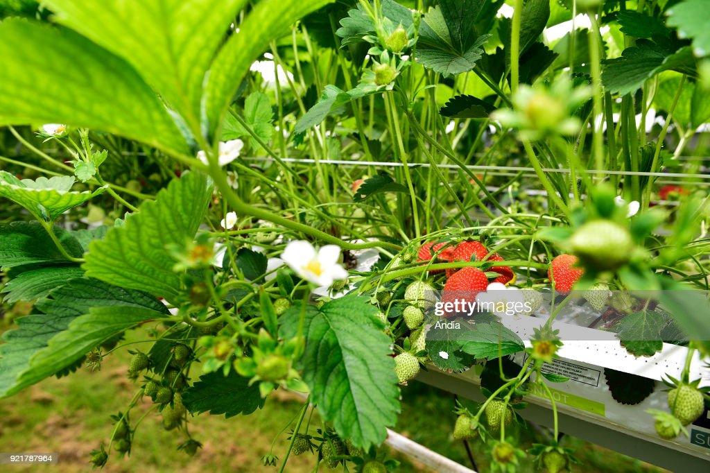 Strawberry production. : News Photo