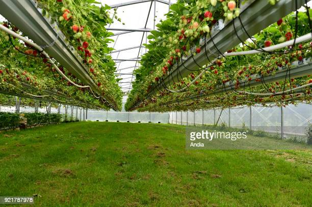 strawberries grown in soilless culture under a greenhouse Strawberry picking