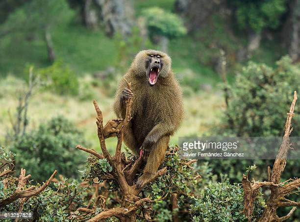 guinea baboon male on a tree, his mouth open showing his fangs. papio papio. - baboon stock pictures, royalty-free photos & images