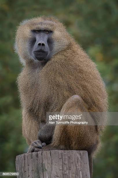 guinea baboon - baboon stock pictures, royalty-free photos & images