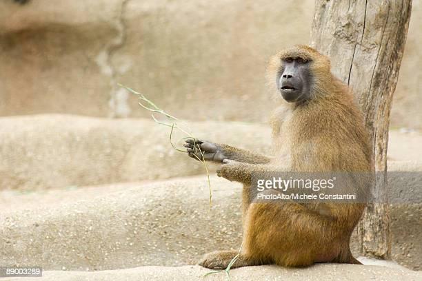 guinea baboon (papio papio) - baboon stock photos and pictures