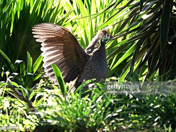 guinea fowl amidst plants at forest - guinea fowl stock pictures, royalty-free photos & images