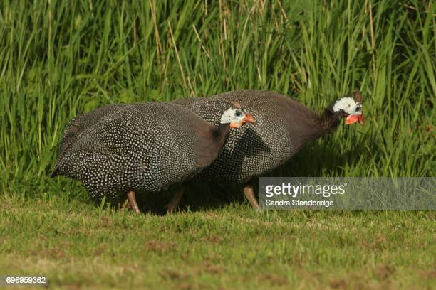 Guinea Fowl (Numididae) searching for food in a field.