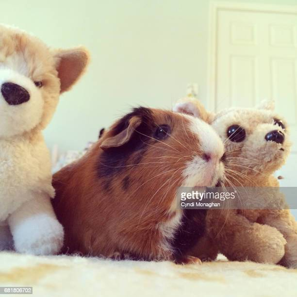 Guinea Pig and Stuffed Animals