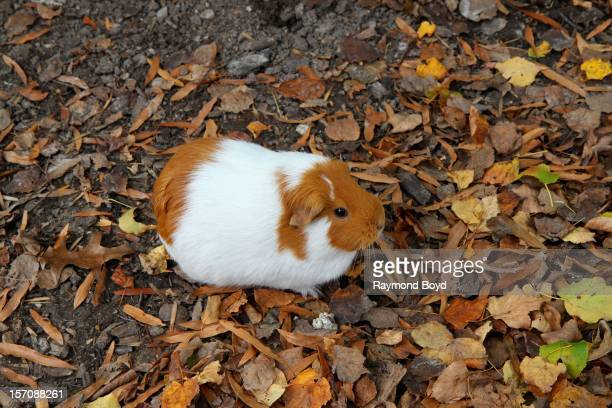Guinea Pig at Grant's Farm in St Louis Missouri on NOVEMBER 03 2012