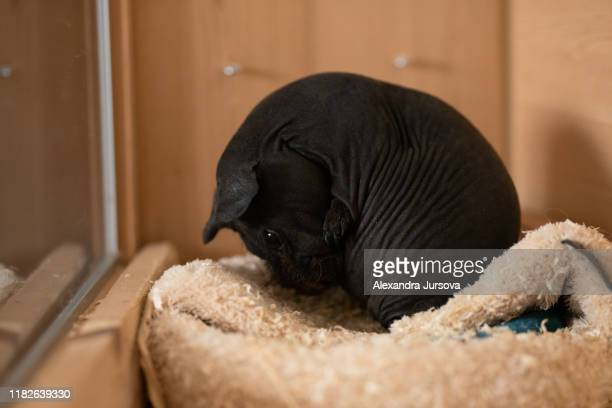 guinea pig - black skinny - pig in shit stock pictures, royalty-free photos & images