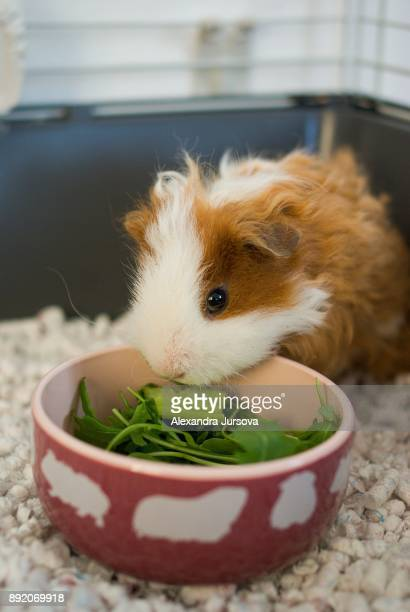 A guinea pig is eating salad