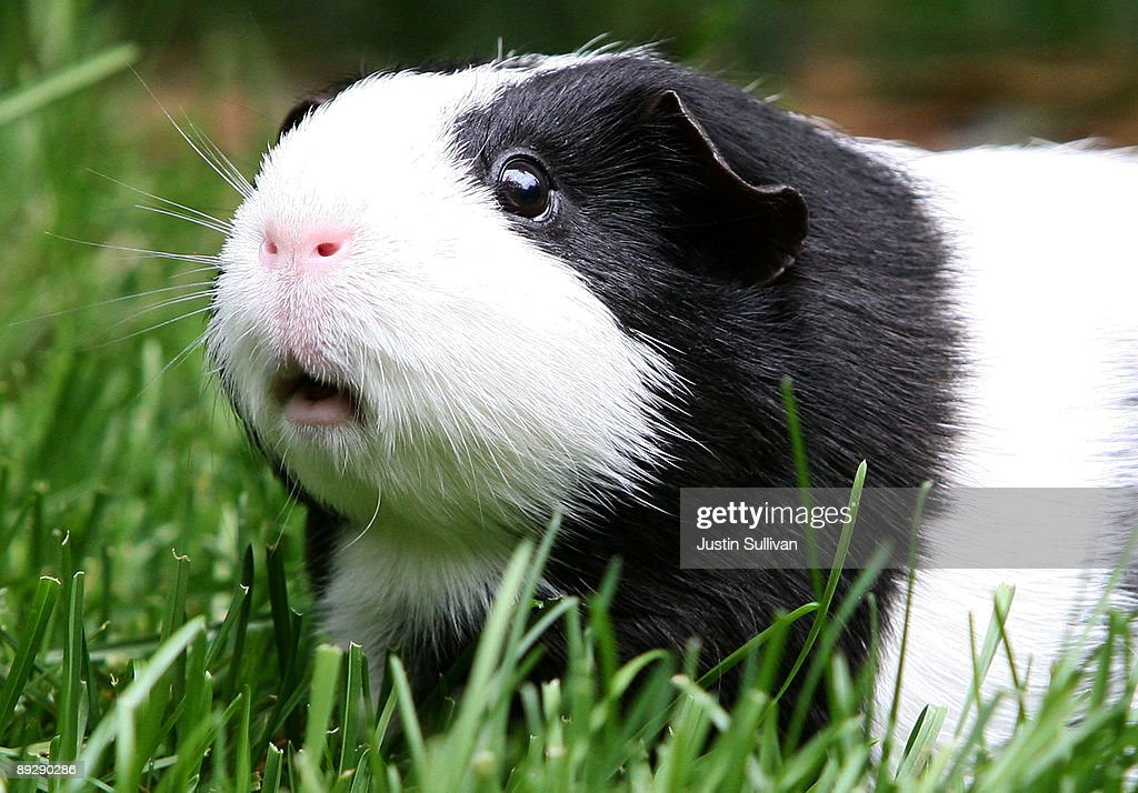 Disney's New Blockbuster Featuring Guinea Pigs Sparks Interest In The Pets : News Photo