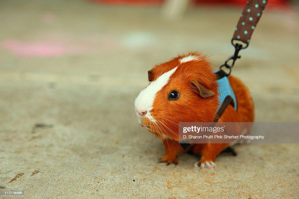 Guinea Pig on A Leash : Stock Photo