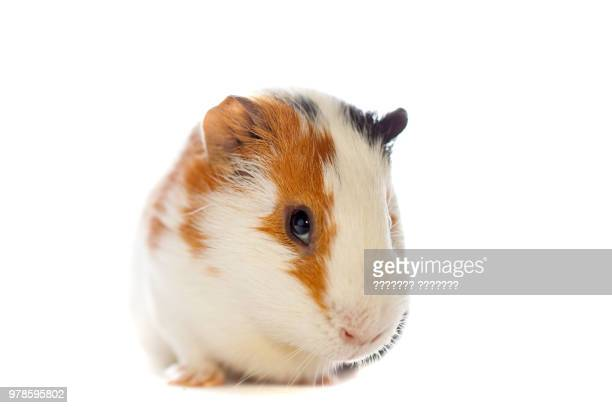 guinea pig over white background - guinea pig stock pictures, royalty-free photos & images