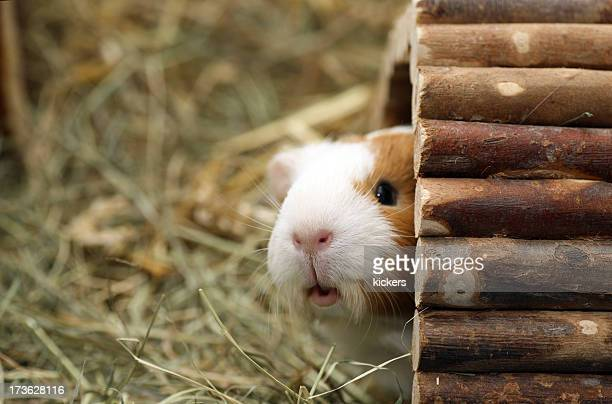 Guinea pig peeking out of his hut