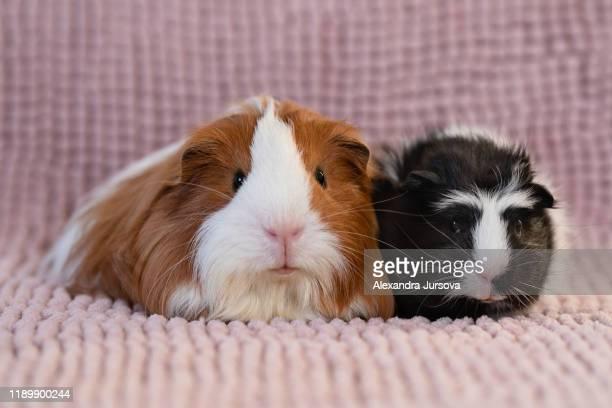 guinea pig (sheltia, skinny, rosette) - guinea pig stock pictures, royalty-free photos & images