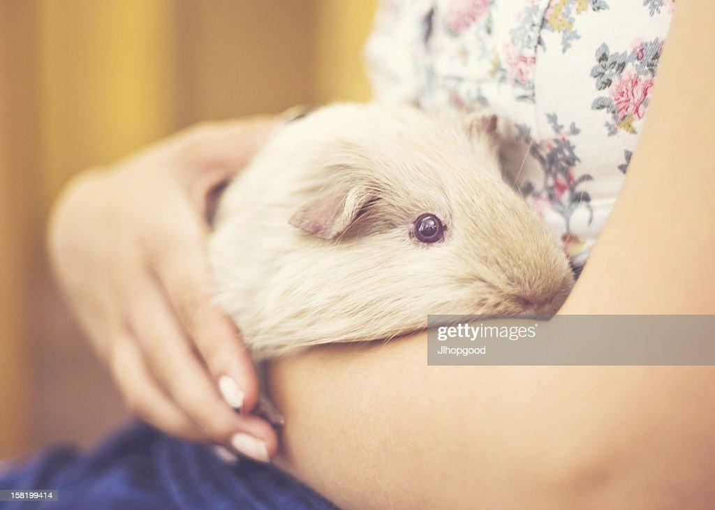 Guinea Pig : Stock Photo