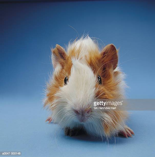 guinea pig - guinea pig stock pictures, royalty-free photos & images