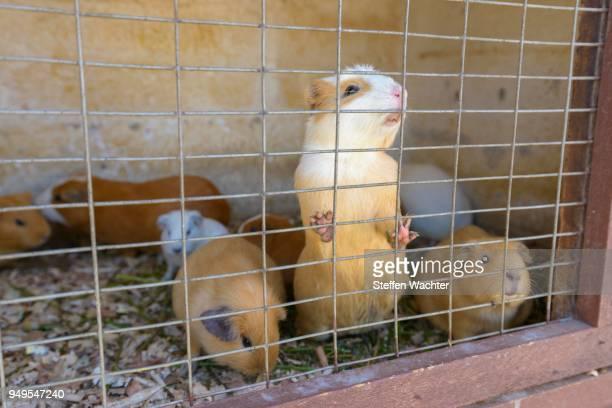 Guinea Pig pig (Caviidae) in the cage, Quito, Pichincha Province, Ecuador