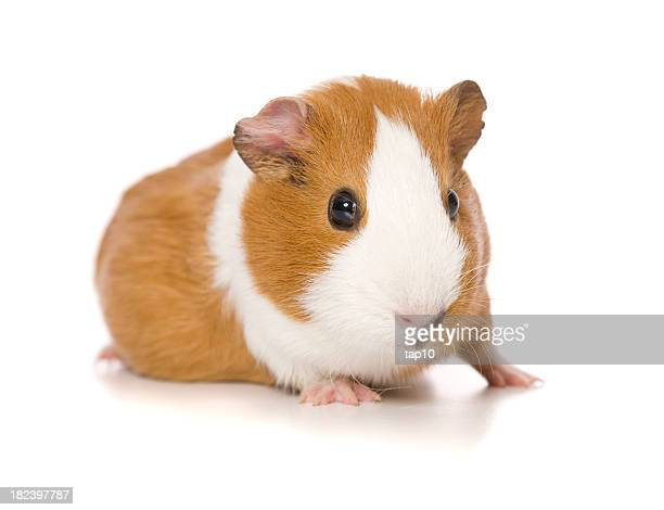 guinea pig portrait - guinea pig stock pictures, royalty-free photos & images