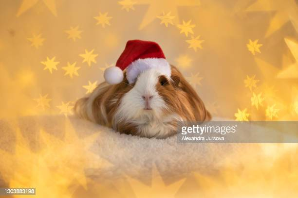 guinea pig - santa - malacky stock pictures, royalty-free photos & images