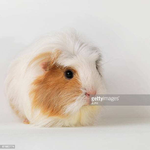 guinea pig sitting on white background - guinea pig stock pictures, royalty-free photos & images