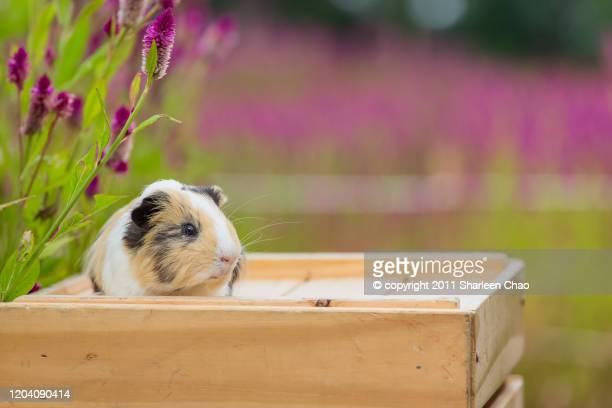 guinea pig with feather cockscomb - cockscomb plant - fotografias e filmes do acervo