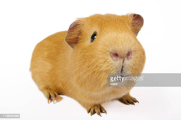 guinea smile - guinea pig stock pictures, royalty-free photos & images